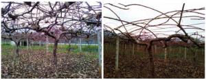 Εικόνα 1,2: Δένδρο σε κρεβατίνα πριν και μετά το κλάδεμα